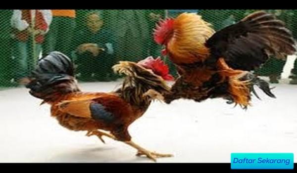 Cara Main Sabung Ayam Agar Untung Terus